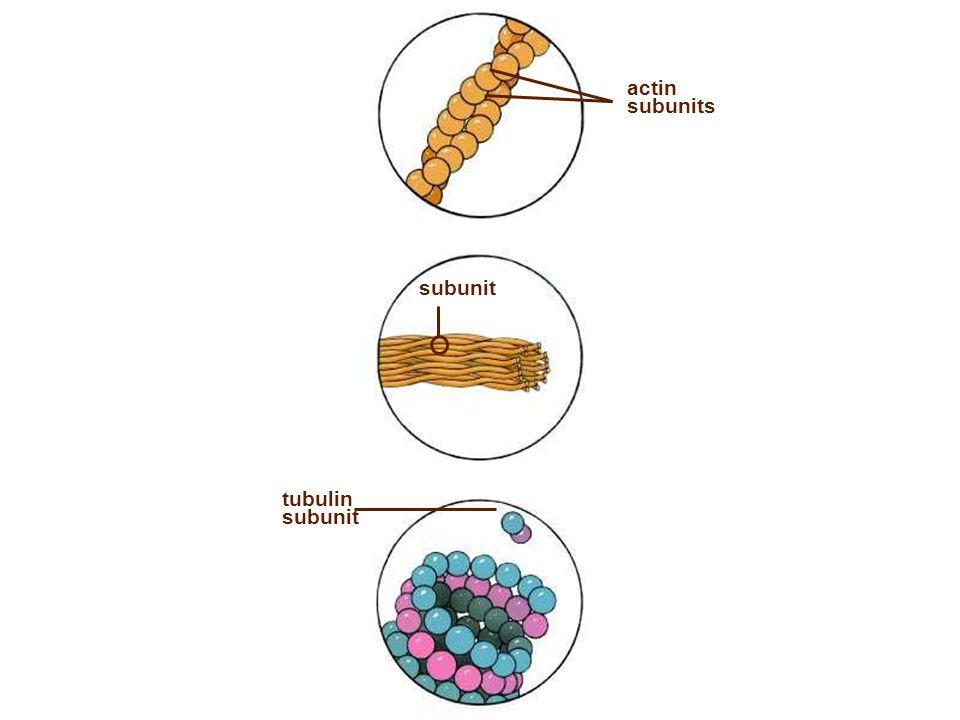 actin subunits subunit tubulin subunit Figure: 04-2 Title: