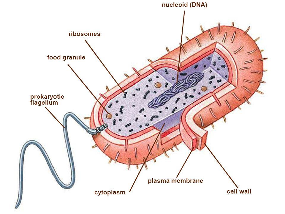 nucleoid (DNA) ribosomes food granule cytoplasm cell wall