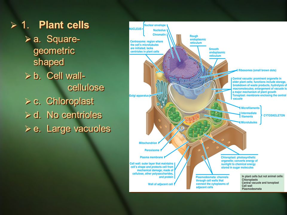 1. Plant cells a. Square-geometric shaped b. Cell wall- cellulose