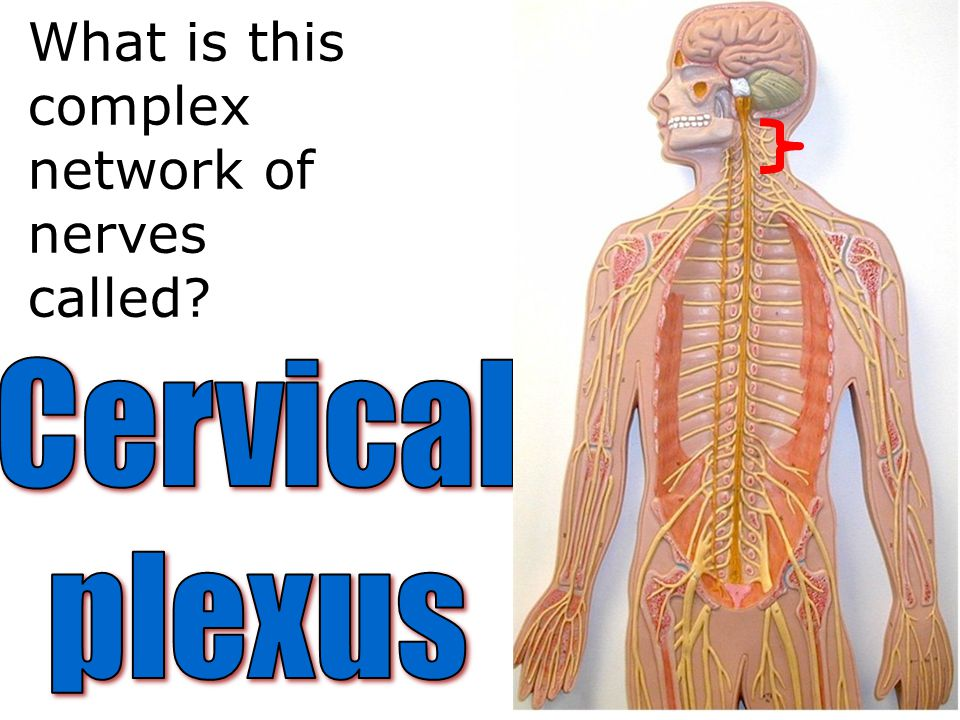 What is this complex network of nerves called