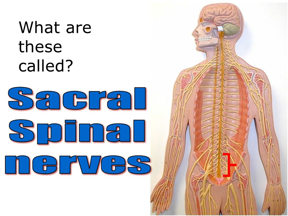 What are these called Sacral Spinal nerves