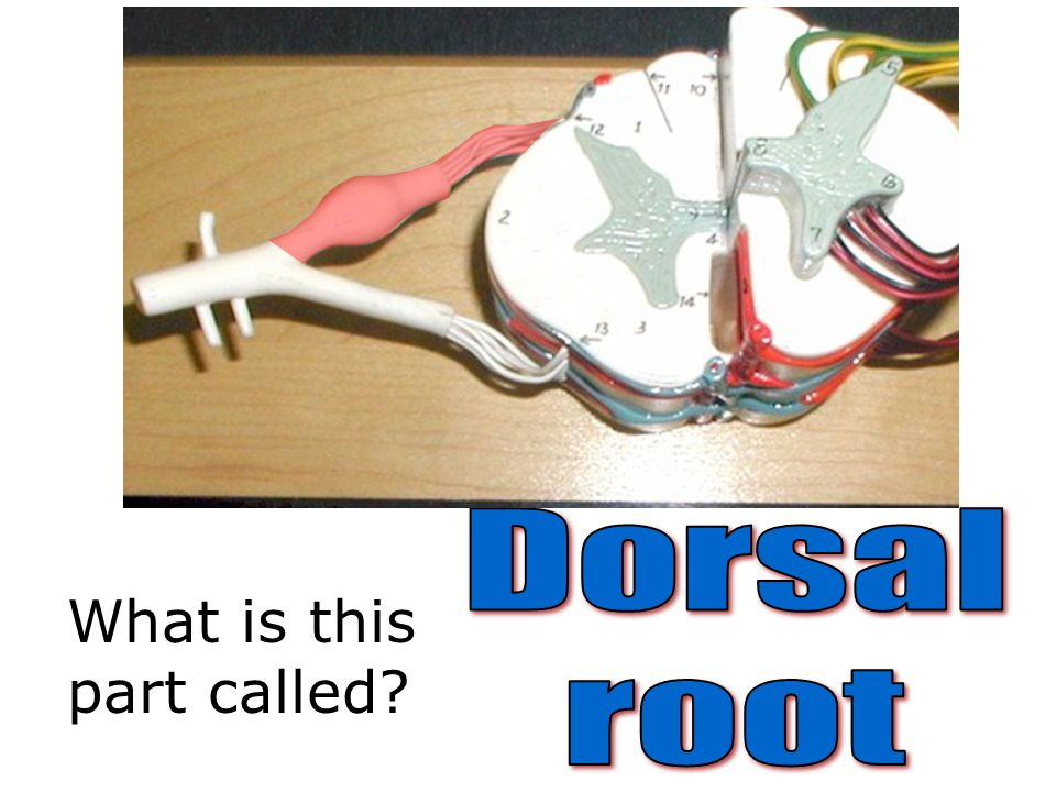 Dorsal root What is this part called