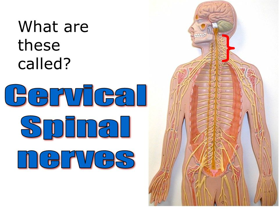 What are these called Cervical Spinal nerves