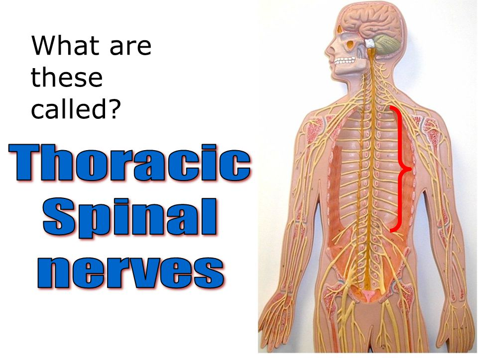 What are these called Thoracic Spinal nerves