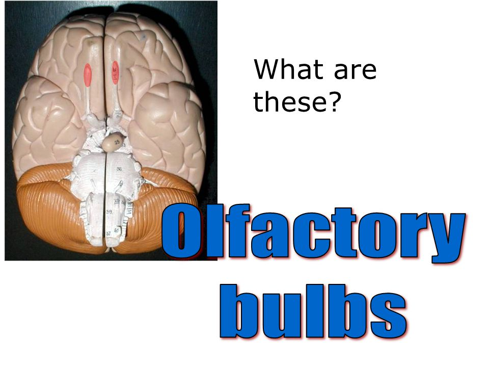 What are these Olfactory bulbs