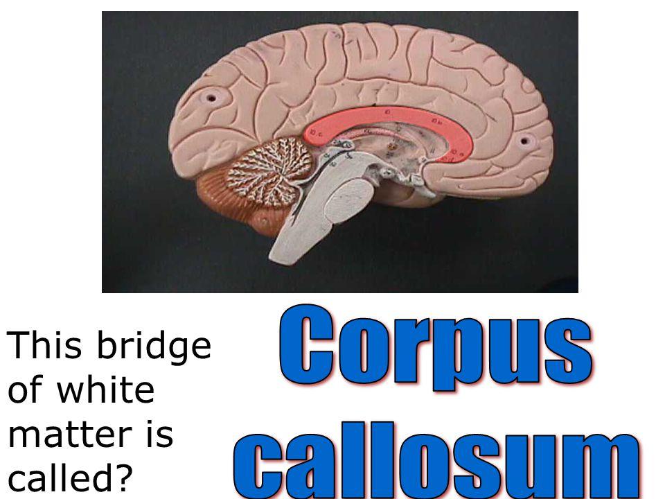 Corpus callosum This bridge of white matter is called