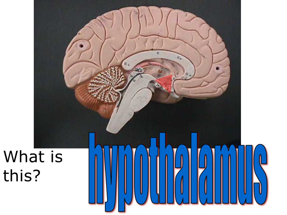 hypothalamus What is this