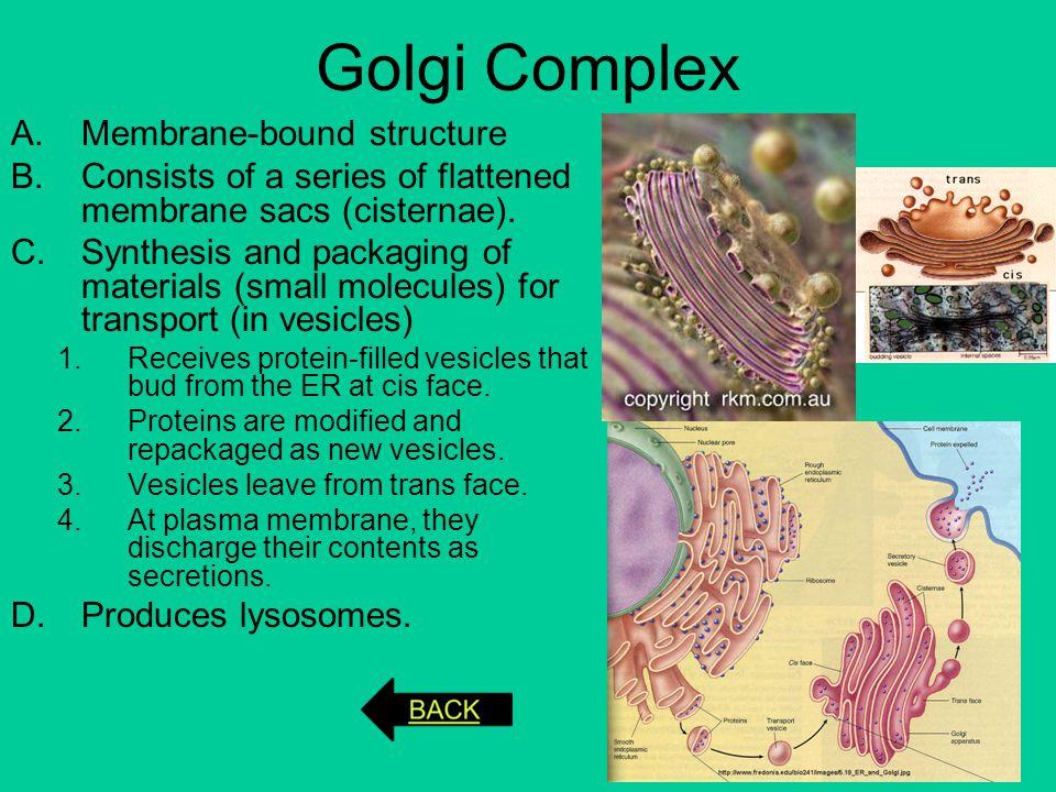 Golgi Complex Membrane-bound structure