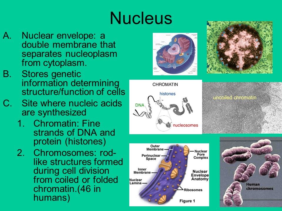 Nucleus Nuclear envelope: a double membrane that separates nucleoplasm from cytoplasm.