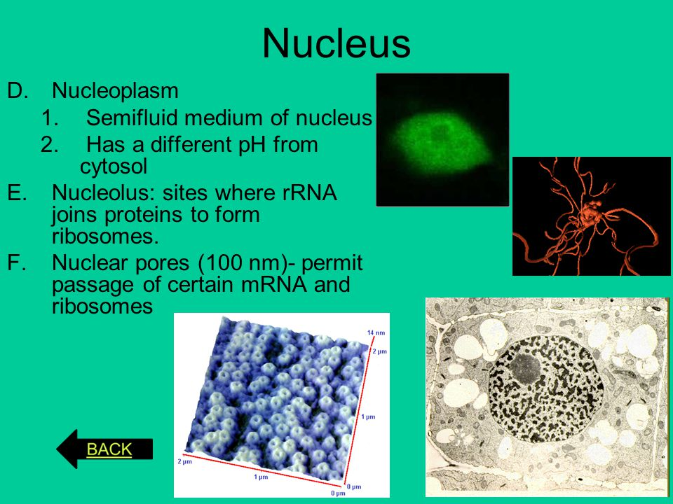 Nucleus Nucleoplasm Semifluid medium of nucleus