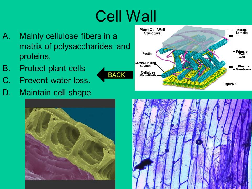 Cell Wall Mainly cellulose fibers in a matrix of polysaccharides and proteins. Protect plant cells.