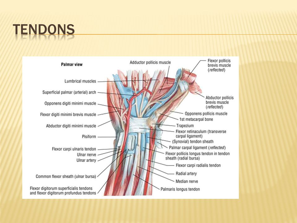 Dorable Ligaments In Thumb Anatomy Composition - Anatomy And ...