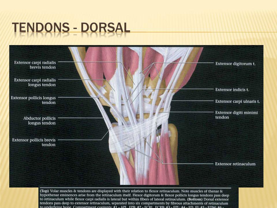 Tendons - dorsal