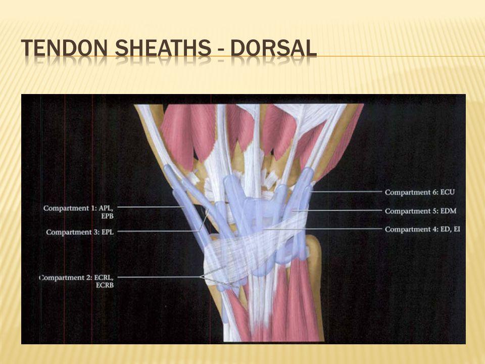 Tendon sheaths - dorsal
