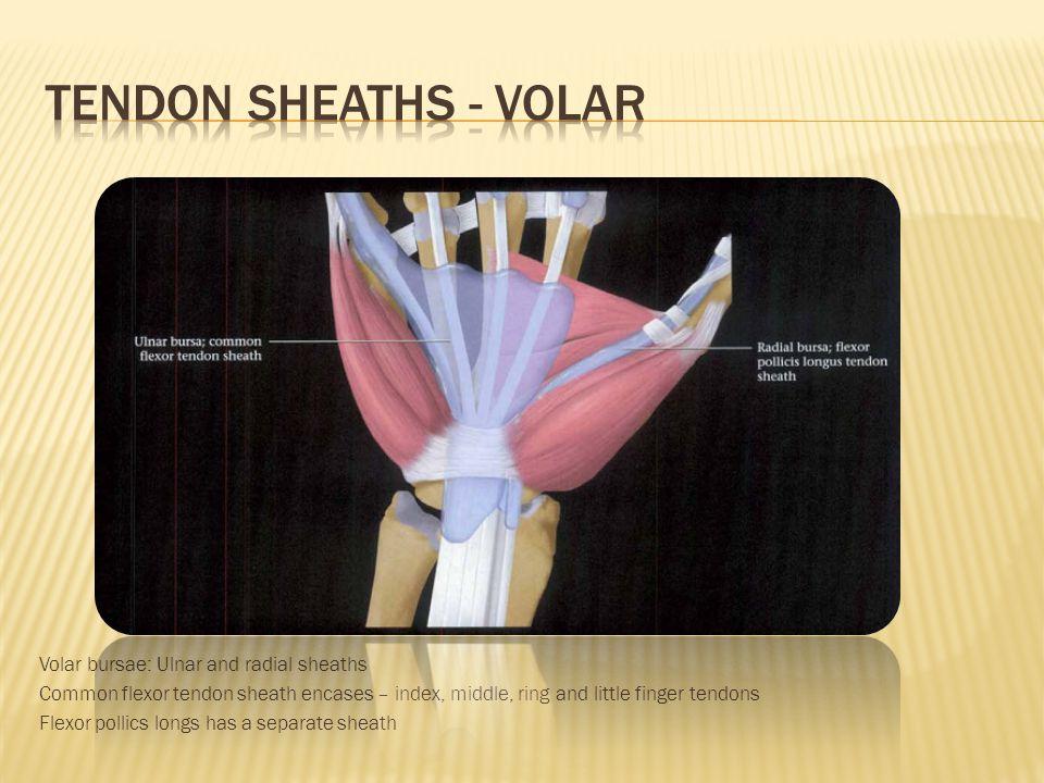 Tendon sheaths - volar