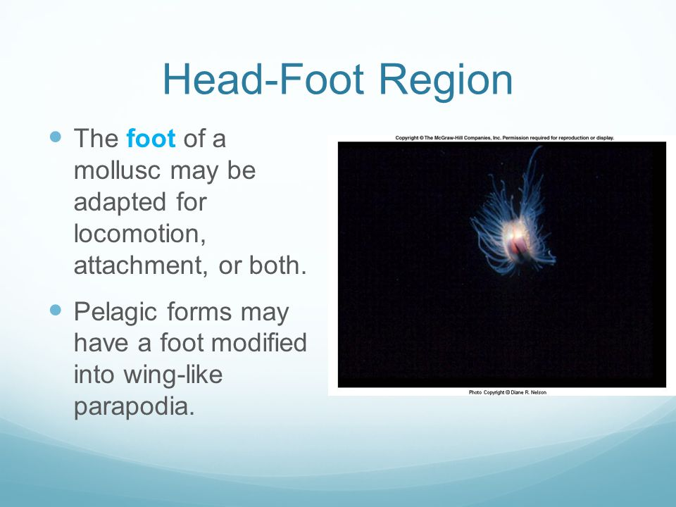 Head-Foot Region The foot of a mollusc may be adapted for locomotion, attachment, or both.