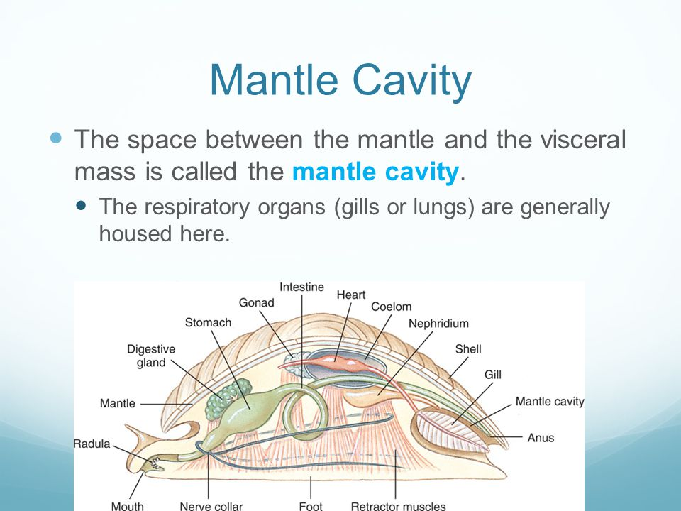 Mantle Cavity The space between the mantle and the visceral mass is called the mantle cavity.