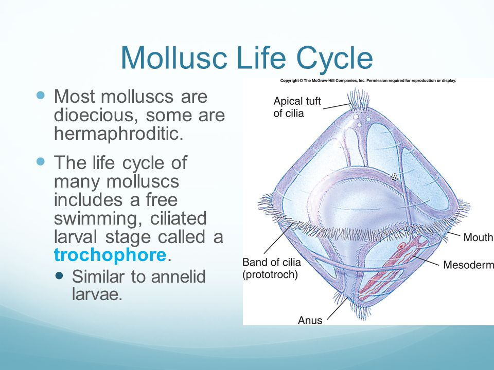 Mollusc Life Cycle Most molluscs are dioecious, some are hermaphroditic.