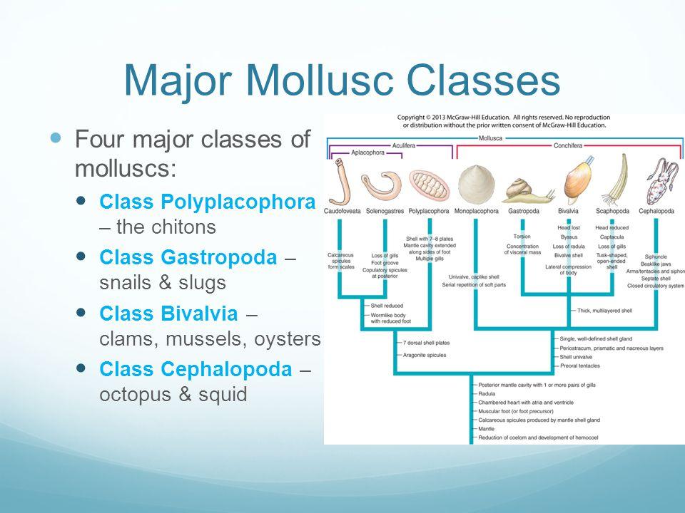 Major Mollusc Classes Four major classes of molluscs: