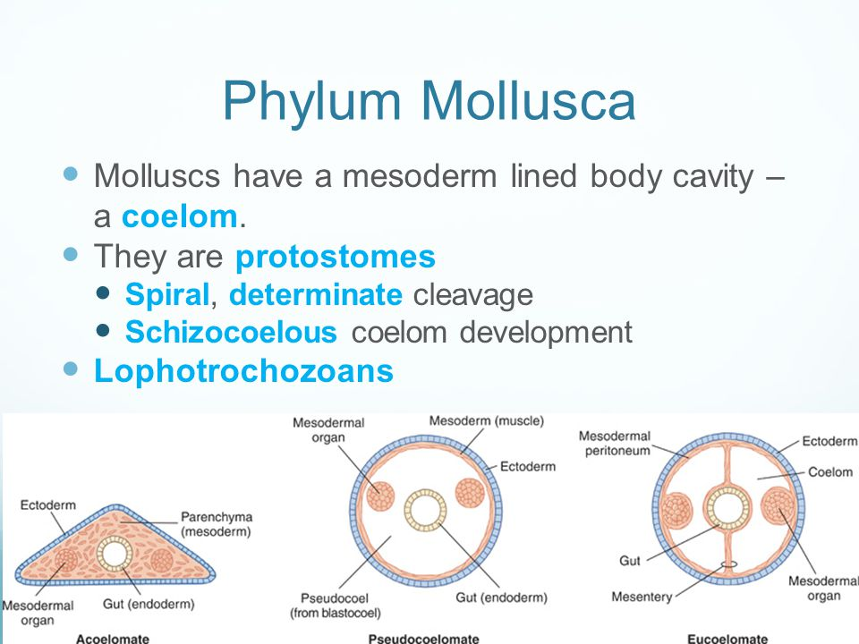 Phylum Mollusca Molluscs have a mesoderm lined body cavity – a coelom.