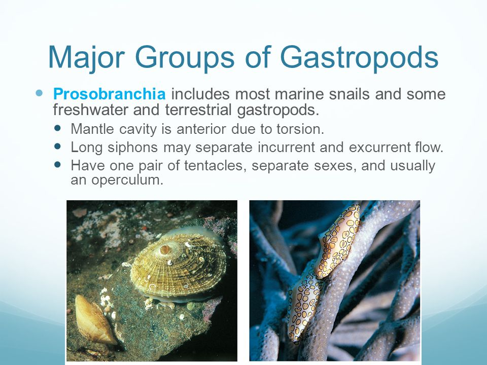 Major Groups of Gastropods