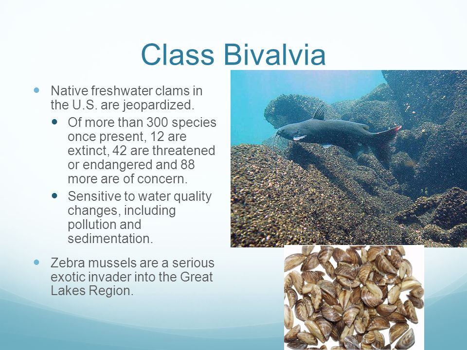 Class Bivalvia Native freshwater clams in the U.S. are jeopardized.