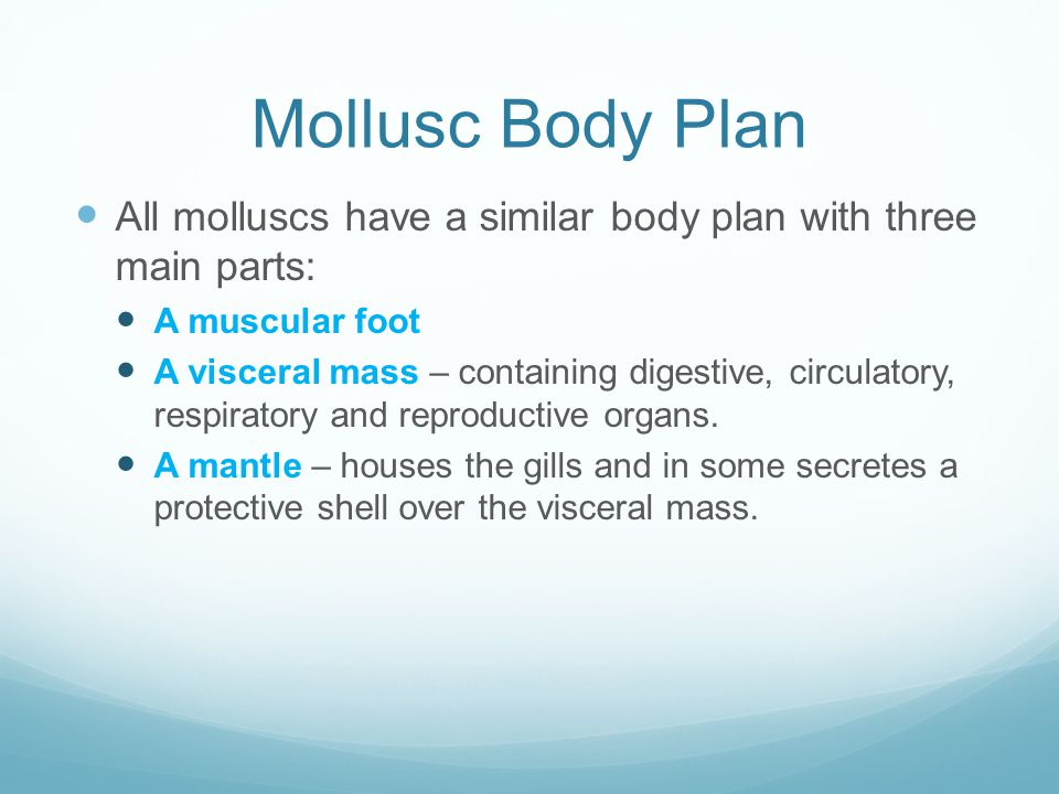 Mollusc Body Plan All molluscs have a similar body plan with three main parts: A muscular foot.