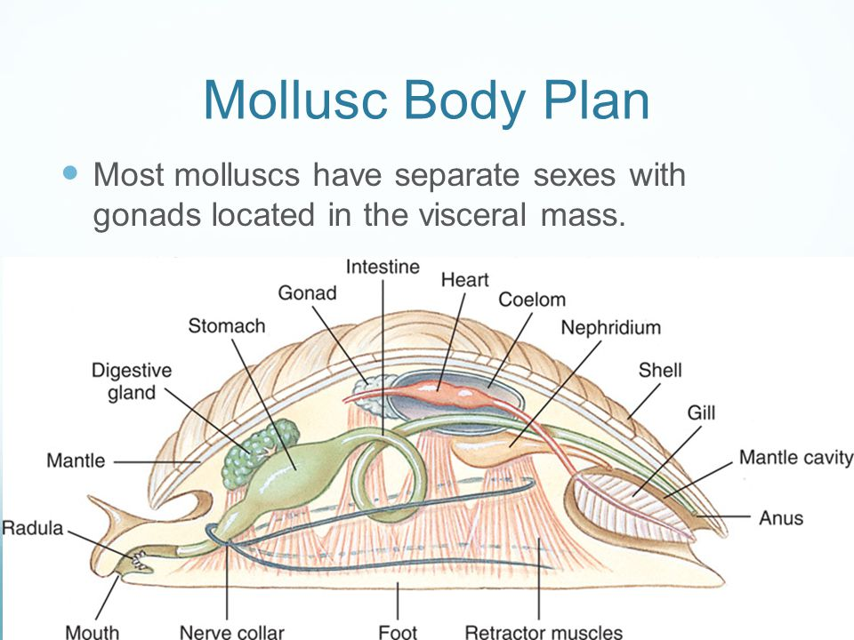 Mollusc Body Plan Most molluscs have separate sexes with gonads located in the visceral mass.