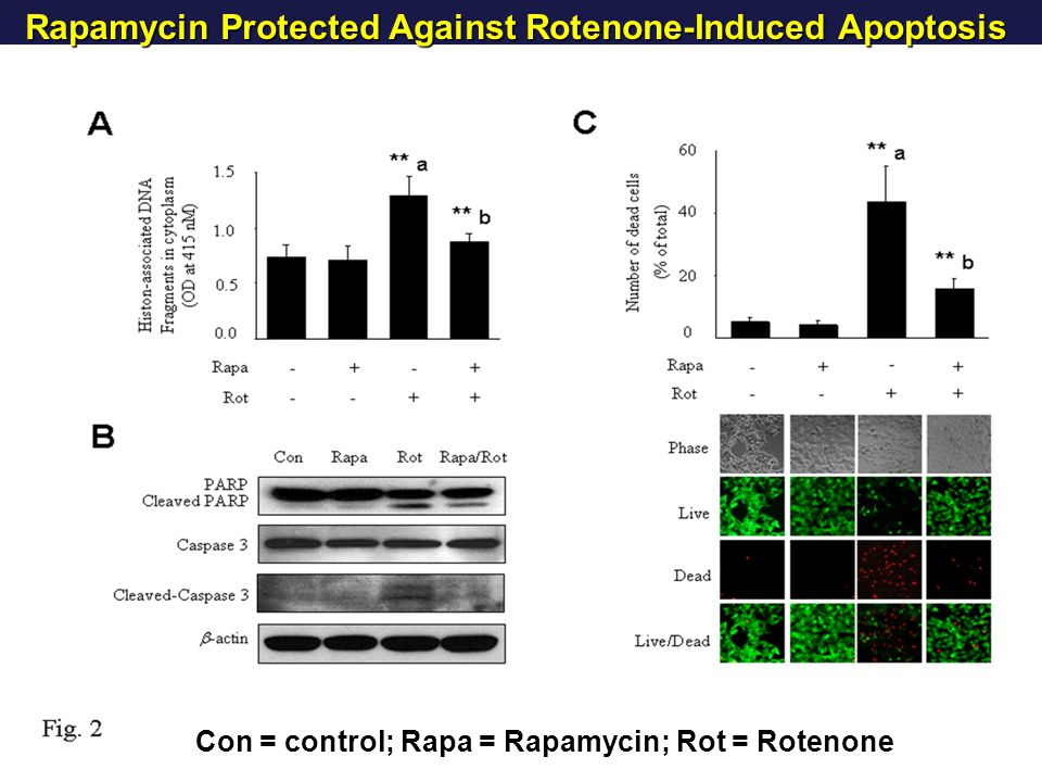 Rapamycin Protected Against Rotenone-Induced Apoptosis