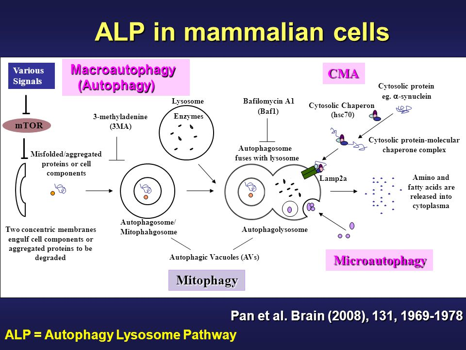 ALP in mammalian cells Macroautophagy CMA (Autophagy) Microautophagy