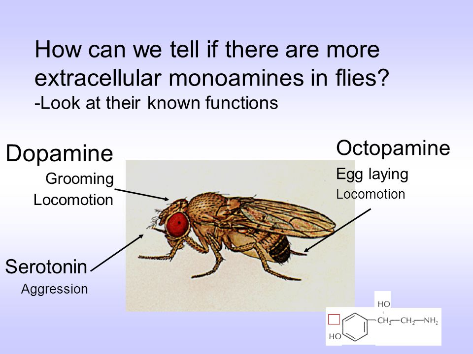 How can we tell if there are more extracellular monoamines in flies