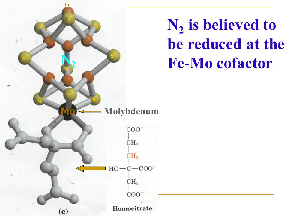 N2 is believed to be reduced at the Fe-Mo cofactor N2 Mo Molybdenum Fe