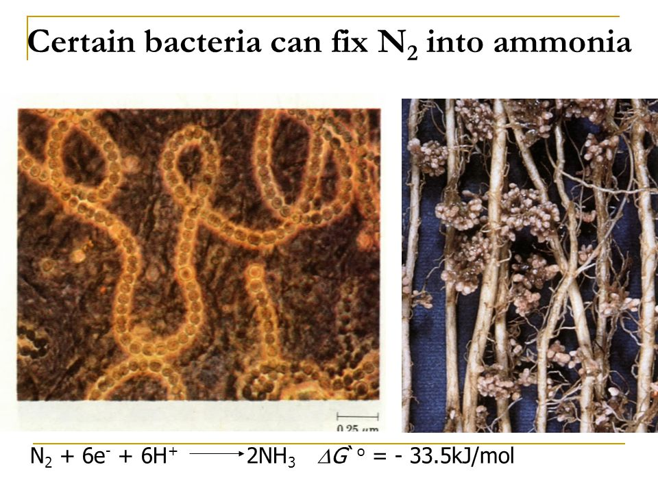 Certain bacteria can fix N2 into ammonia