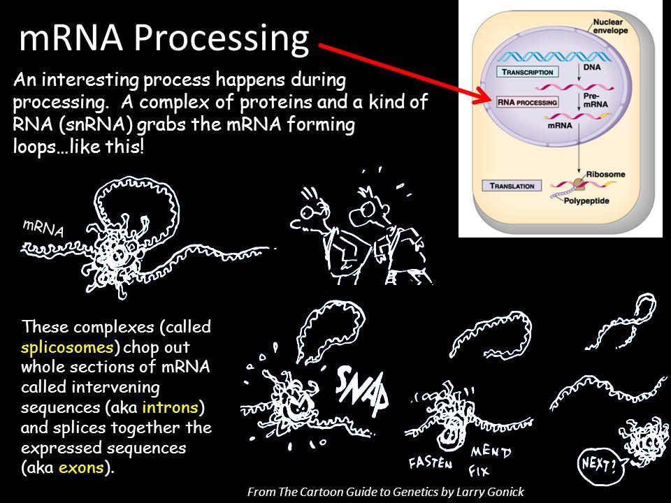 mRNA Processing