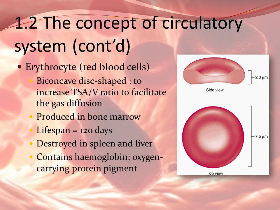1.2 The concept of circulatory system (cont'd)
