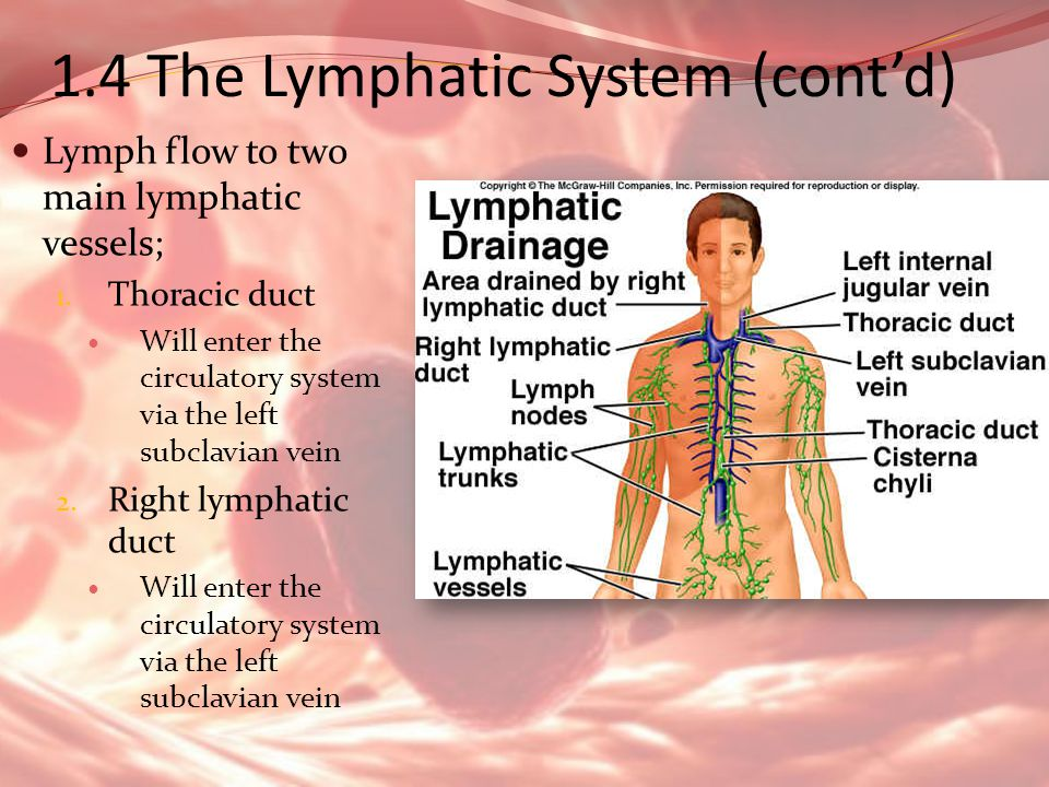 1.4 The Lymphatic System (cont'd)