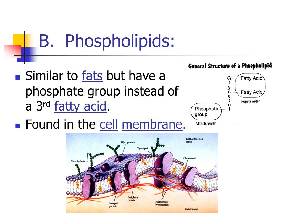 B. Phospholipids: Similar to fats but have a phosphate group instead of a 3rd fatty acid.