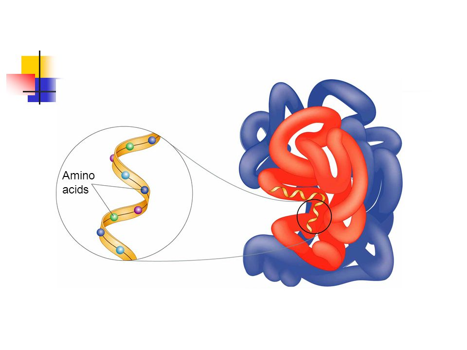 Figure 2-17 A Protein Section 2-3 Amino acids Go to Section: