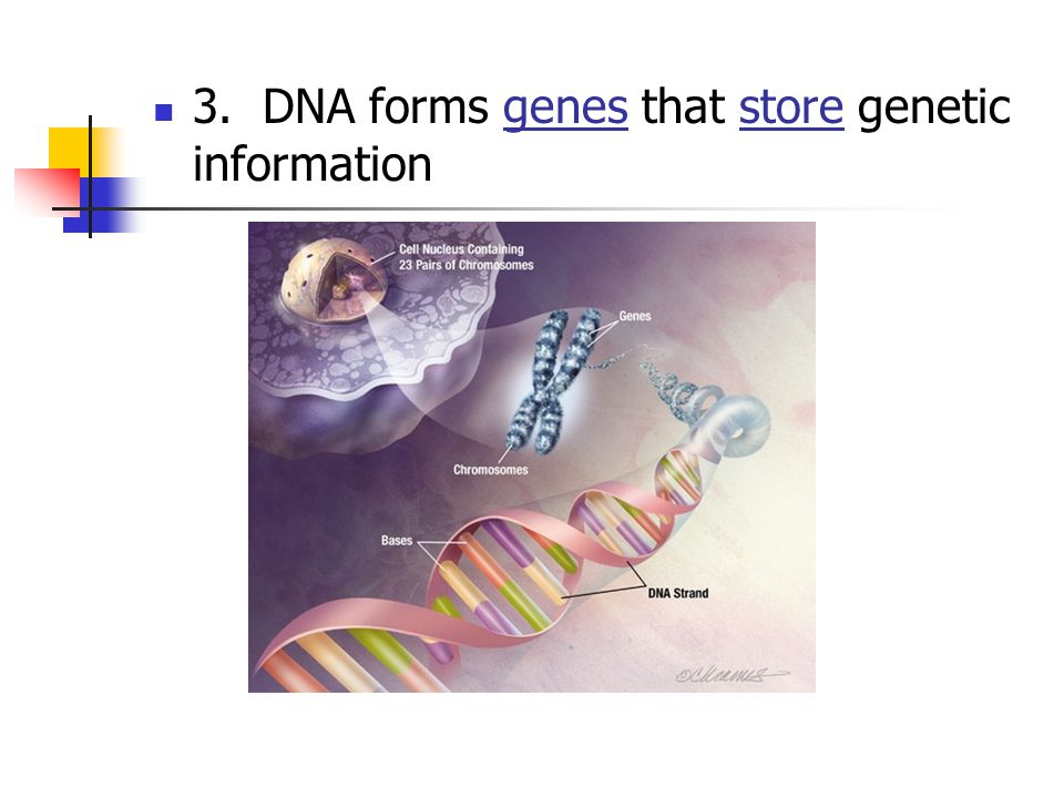 3. DNA forms genes that store genetic information