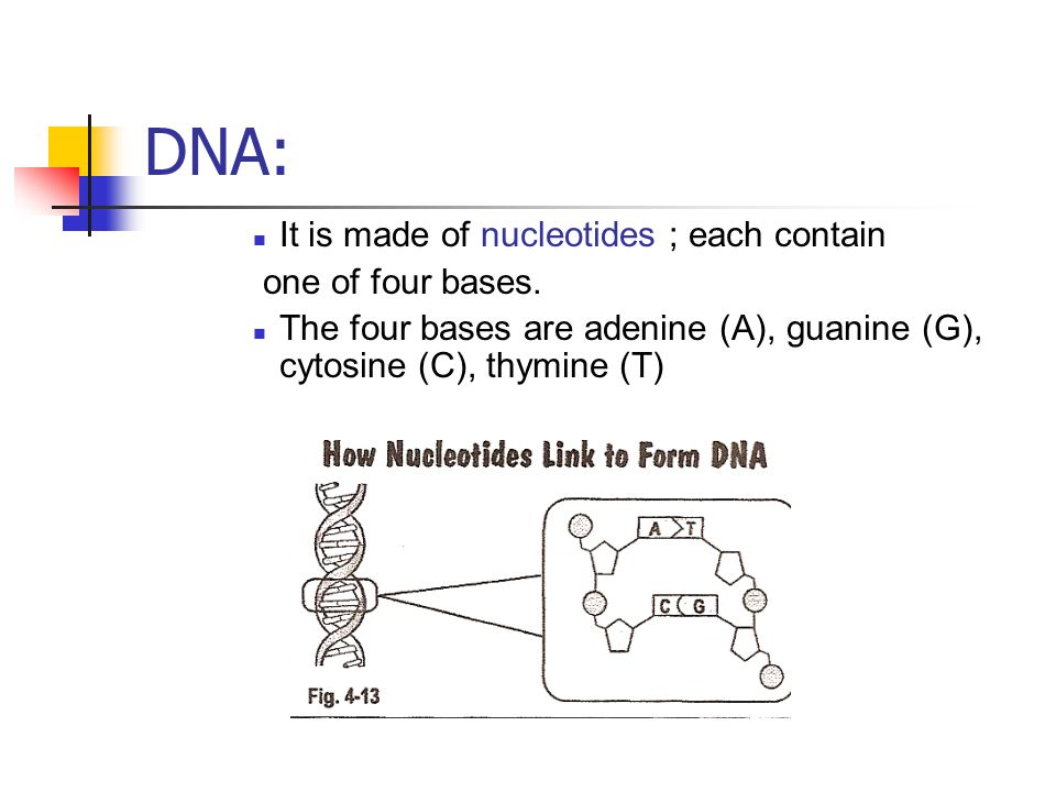 DNA: It is made of nucleotides ; each contain one of four bases.
