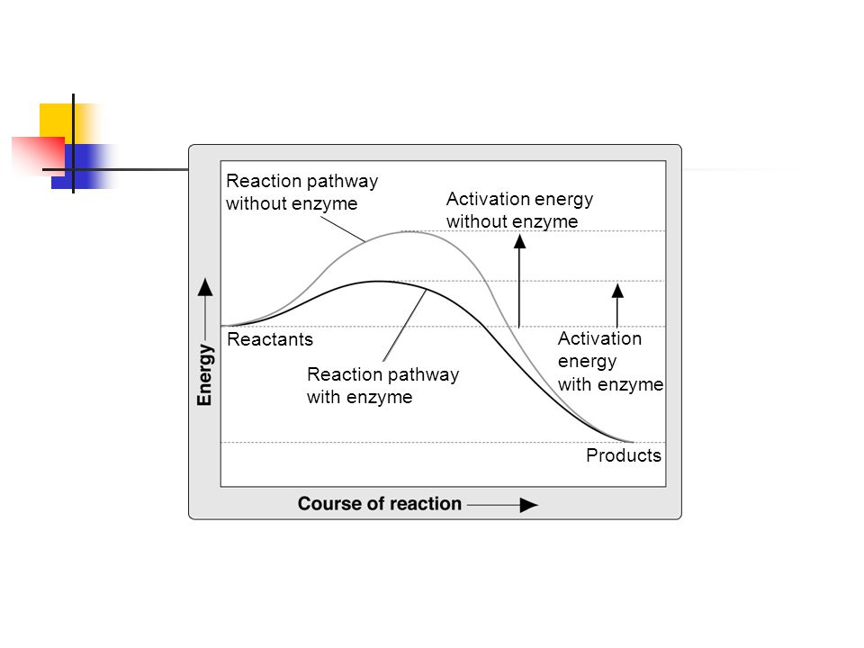Effect of Enzymes Reaction pathway without enzyme Activation energy