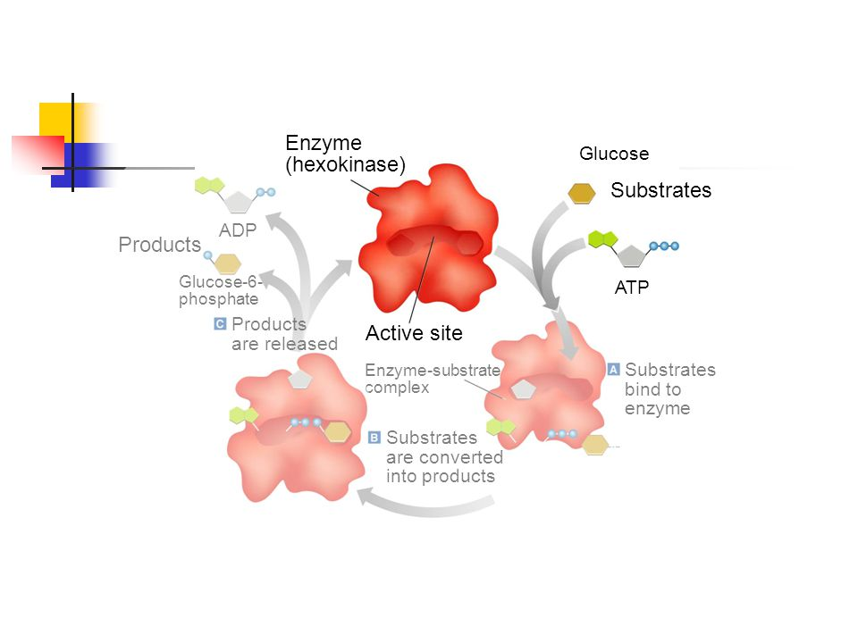Figure 2-21 Enzyme Action Enzyme (hexokinase) Substrates Products