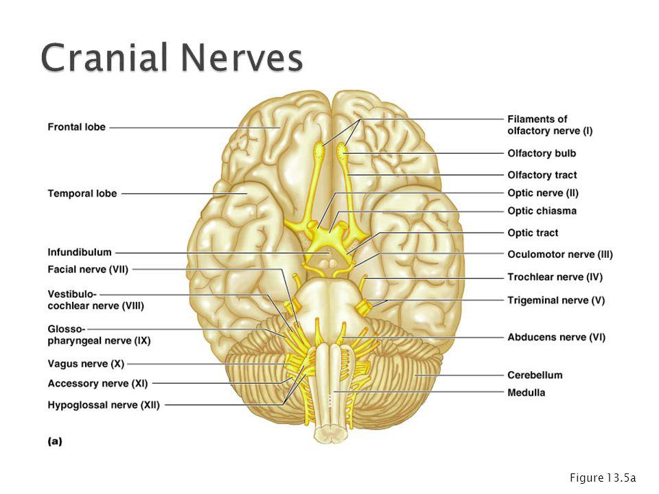 Cranial Nerves Figure 13.5a