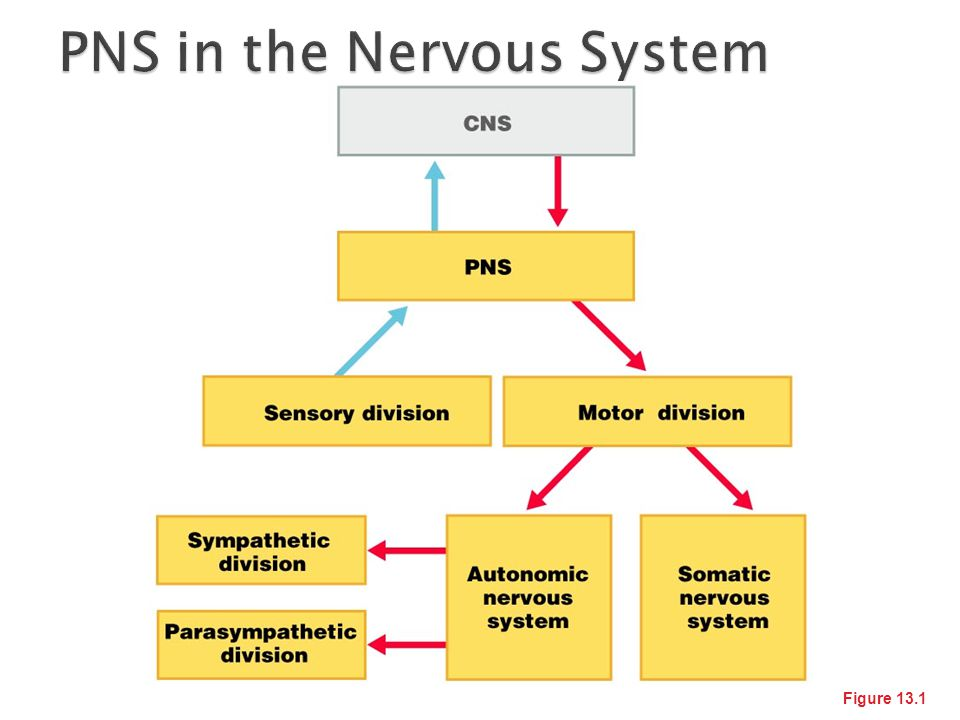 PNS in the Nervous System