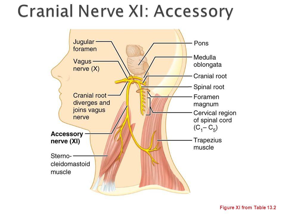 Cranial Nerve XI: Accessory