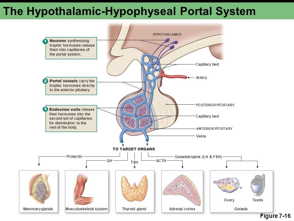 The Hypothalamic-Hypophyseal Portal System