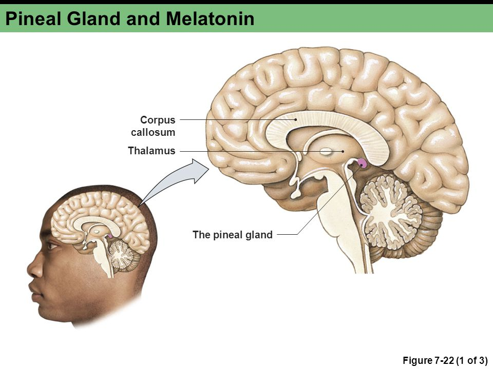 Pineal Gland and Melatonin