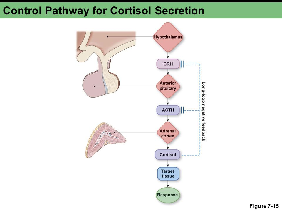 Control Pathway for Cortisol Secretion