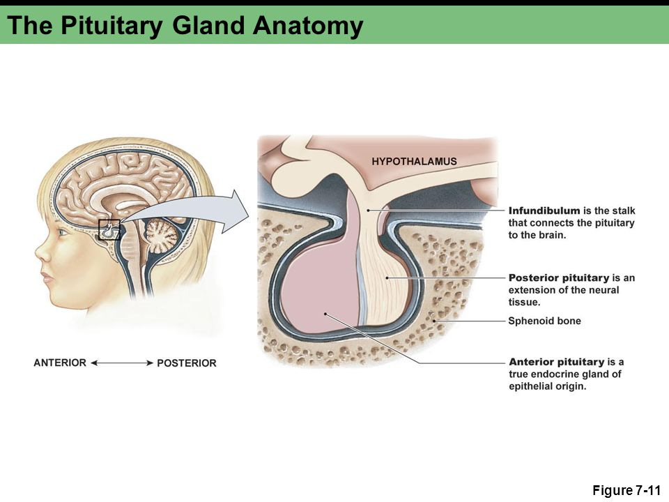 The Pituitary Gland Anatomy