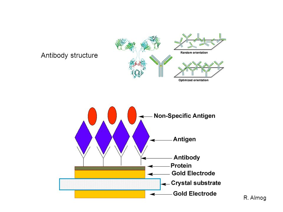 Antibody structure R. Almog